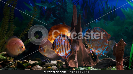 Amazonian Freshwater Disks. Symphysodon stock photo, Discus - Symphysodon close-up. Freshwater fish of the Amazon by fogen