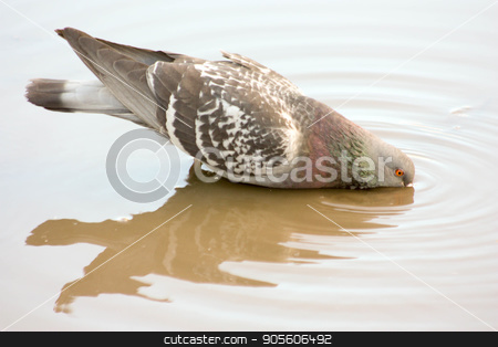 Dove drinking from a puddle. reflection in water stock photo, Dove drinking from a puddle. reflection in water. Photo for your design by Kseniia