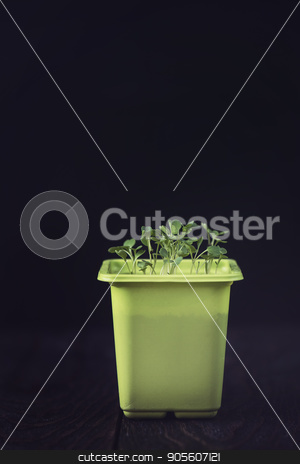 Rukkola growing in a pot stock photo, Rukkola growing in a yellow pot by olinchuk