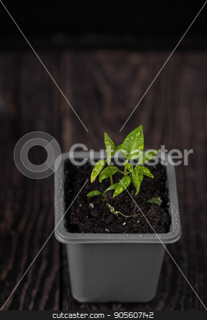 Pepper growing in a pot stock photo, Pepper plant growing in a pot by olinchuk