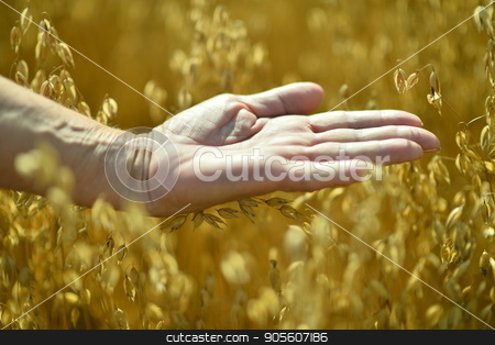 opened palm against field of wheat stock photo, Close up view of senior man holding opened palm against field of ripe wheat by Ruslan Huzau