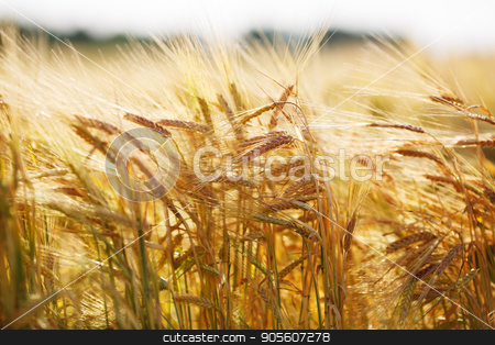 Golden ears of wheat stock photo, Golden ears of wheat on a sunny day. Selective focus. by Veresovich