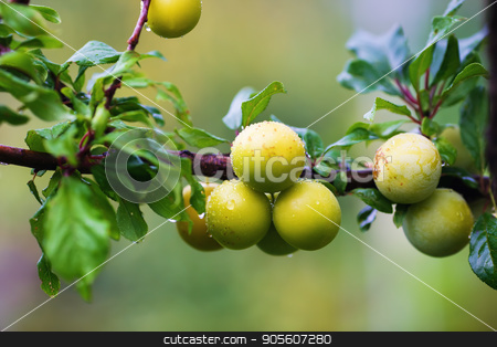 Unripe yellow plums stock photo, Shallow depth of field. Selective focus. by Veresovich