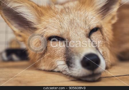 Beautiful red fox stock photo, Beautiful red fox closeup portrait by olinchuk