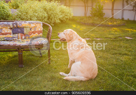 Adorable Labrador sitting on green grass, outdoors stock photo, Adorable Labrador sitting on green grass, outdoors by Satura86