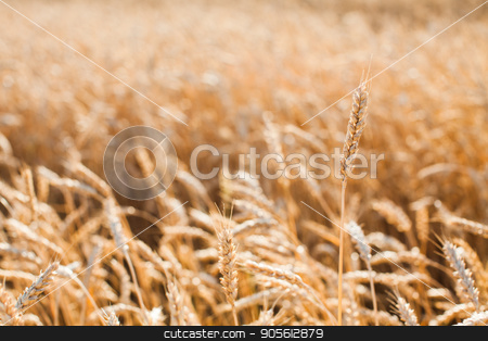 the field of the ripened gold wheat against on a blue sky background. stock photo, the field of the ripened gold wheat closeup. harvest, agriculture, agronomics, food, production, eco concept. empty space for the text. by Dmitry