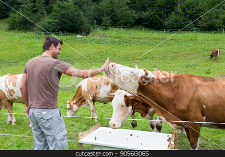 Active sporty male hiker observing and caressing pasturing cows on meadow. stock photo, Active male hiker wearing sporty clothes observing and caressing pasturing cows on mountain meadow, Gorenjska region, Alps, Slovenia. by kasto