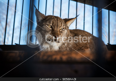 Portrait of the lynx stock photo, Portrait of the lynx in a zoo by olinchuk