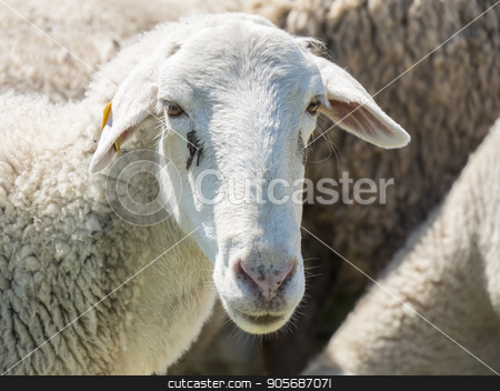 Flock of sheep in the field stock photo, Flock of sheep in the field by max8xam