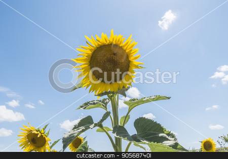 Sunflower in the sun stock photo, Sunflower in the sun by max8xam