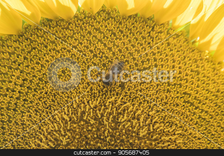 Sunflower in the sun stock photo, Sunflower in the sun by max8xam