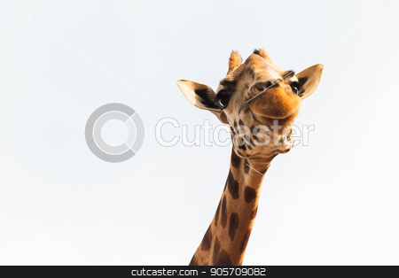 giraffe in africa stock photo, animal, nature and wildlife concept - giraffe in africa by Syda Productions