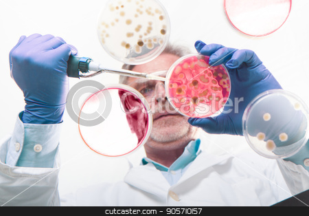 Senior life science researcher grafting bacteria. stock photo, Focused senior life science professional grafting bacteria in the pettri dishes. Lens focus on the pipette. Through the glass view. by kasto