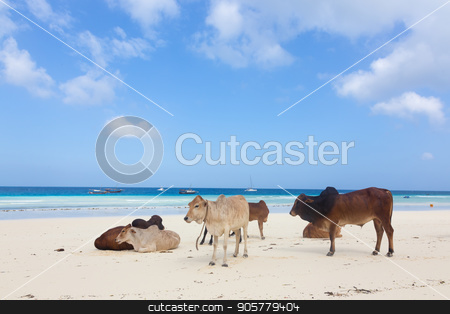 African cows are resting on Nungwi beach, Zanzibar, Tanzaia, Africa. stock photo, African cows are resting on white tropical Nungwi beach, Zanzibar, Tanzaia, Africa. by kasto