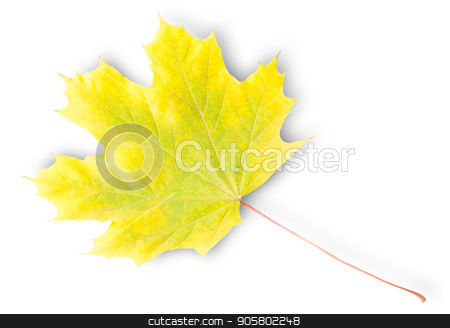 Yellow And Green Autumn Maple Leaf stock photo, Yellow And Green Autumn Maple Leaf Isolated On White Background by Vitalii Borovyk