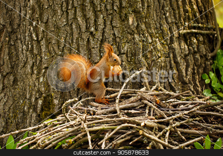 Red squirrel on autumn forest. stock photo, Red squirrel on autumn forest. Squirrel with a nut by serkucher