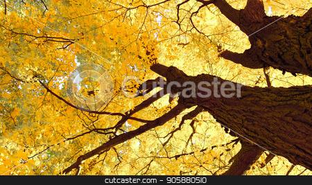 Maple tree in autumn stock photo, autumn maple trees closeup in autumn city park by Rokvel