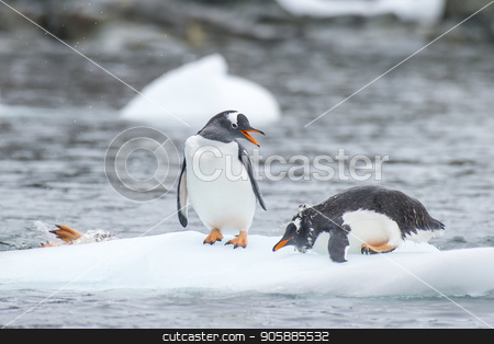 Gentoo Penguins on the ice stock photo, Gentoo Penguins playing on the ice Cuvervile Island, Antarctica by Vladimir Seliverstov