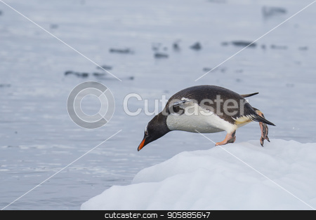 Gentoo Penguin on the ice stock photo, Gentoo Penguin jump to the water Cuvervile Island, Antarctica by Vladimir Seliverstov