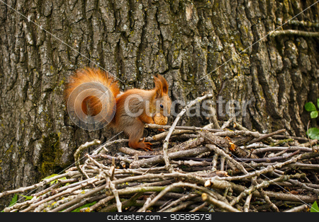 Cute and hungry squirrel eating a nut stock photo, Cute and hungry squirrel eating a nut in autumn scene. by serkucher