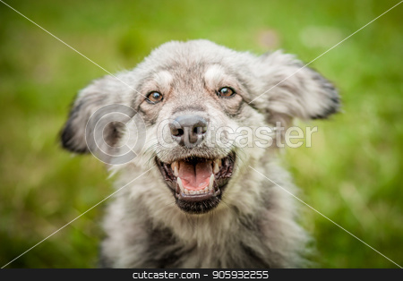Portrait of a joyful dog on the grass. stock photo, A joyful dog. A large portrait of a dog. A handsome puppy. A dog on the green grass. Smiling dog. by YuriiZ