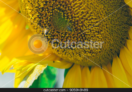 Bee flies around the flower in search of honey on a hot summer day. Honey Bee pollinating sunflower. stock photo, Bee flies around the flower in search of honey on a hot summer day. Honey Bee pollinating sunflower. by aaalll3110
