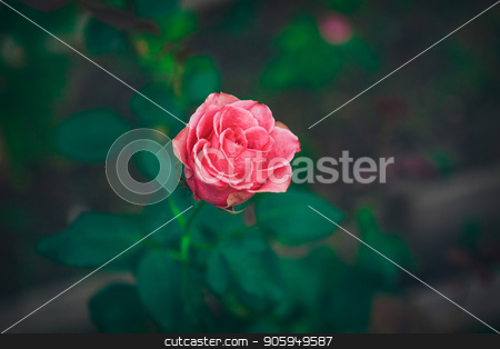 One red rose grows in the grass stock photo, One red rose grows in the grass by aaalll3110