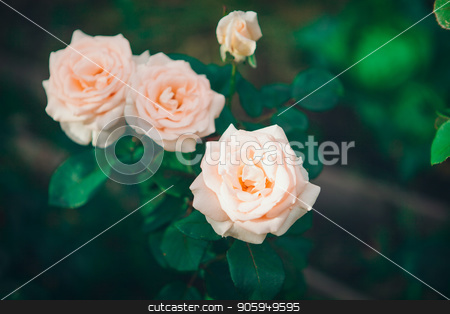the Three red roses in a garden stock photo, the Three red roses in a garden by aaalll3110