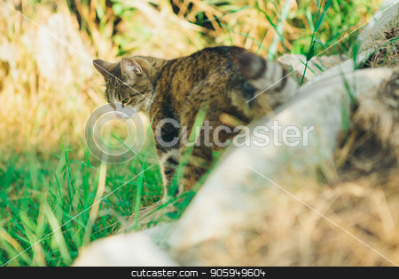 two striped cats lie in the grass. Portrait of cats outdoors stock photo, two striped cats lie in the grass. Portrait of cats outdoors by aaalll3110