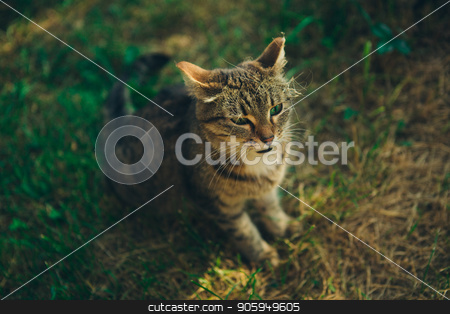 Green-eyed tabby cat sitting in the grass in the meadow. Portrait of a cat outdoor stock photo, Cat sitting in the grass in the meadow. Portrait of a cat outdoor by aaalll3110