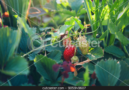 Wild strawberry bush with ripe berries and green leafs close-up, forest on background stock photo, Wild strawberry bush with ripe berries and green leafs close-up, forest on background by aaalll3110