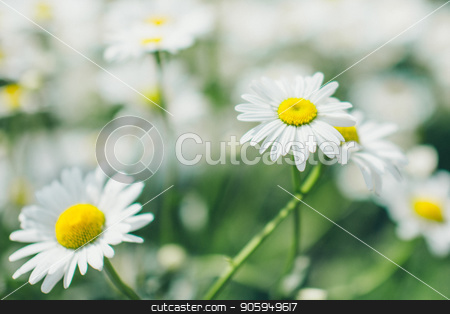 the Flies on dandelion in macro photography. stock photo, the Flies on dandelion in macro photography. by aaalll3110