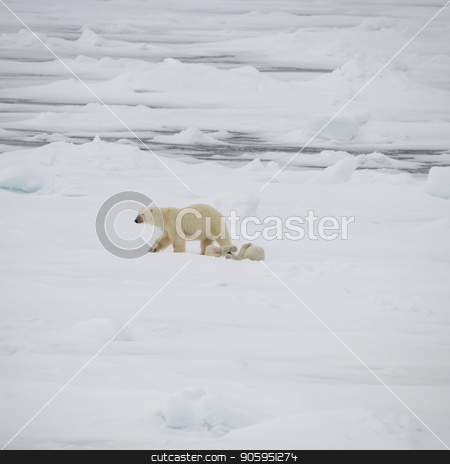 Polar bear walking in an arctic. stock photo, Polar bear with two cubs walking in an arctic landscape. by Vladimir Seliverstov