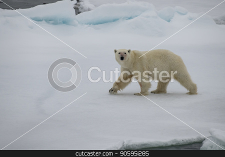 Polar bear walking in an arctic. stock photo, Polar bear walking in an arctic landscape sniffing around. by Vladimir Seliverstov