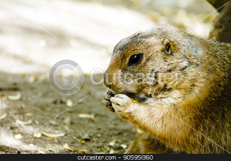 Ground hog eating  stock photo, Profile view of a ground hog with hands near mouth eating by txking