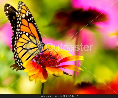 Monarch butterfly on a pretty flower stock photo, Very colorful image displaying a Monarch butterfly on a bright flower.  by txking