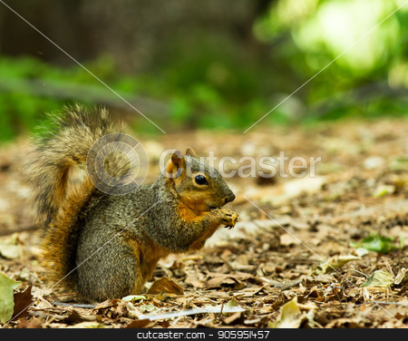 squirrel eating a piece of food  stock photo, Single squirrel on a bed of leaves with food in his hands being held up to his mouth by txking