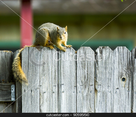 Squirrel hanging out on the fenceline stock photo, A Single squirrel on a fence staring at the camera by txking
