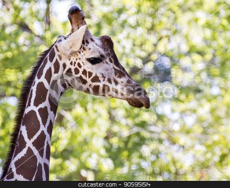 giraffe walking stock photo, Giraffe showing it's long neck by txking