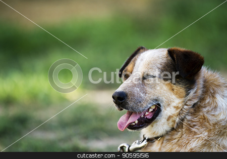 Blue healer relaxing in the hot yard panting with his tongue hanging out stock photo, During a hot day a single dog on a leash is resting in the yard. Eyes closed and tongue out. by txking