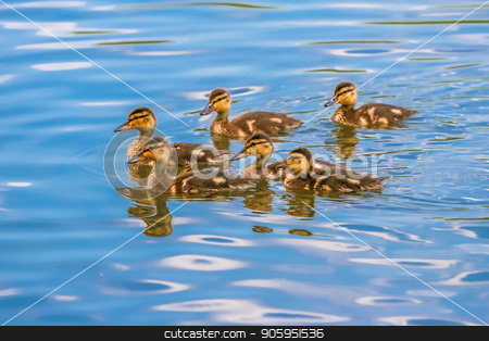 Goslings in Blue Lake stock photo, Baby geese swimming and playing in the lake by Darryl Brooks