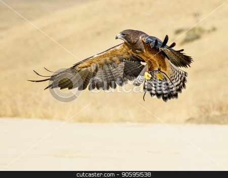 Swainson hawk flying stock photo, Single hawk comming in for a landing.  by txking