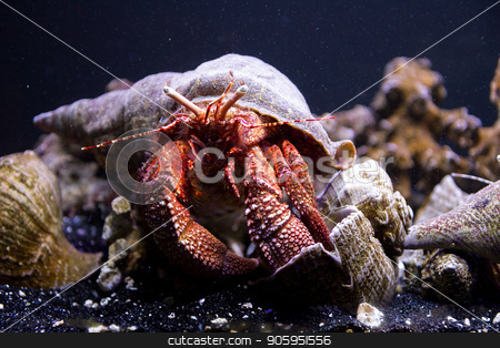 crab underwater  stock photo, View of a crab underwater in the ocean by txking