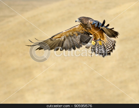 hawk going in for the kill stock photo, Bird flying while getting ready to go in to hunt it's prey  by txking