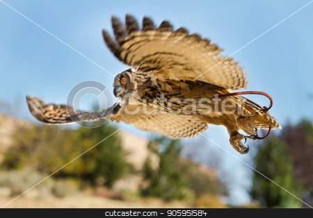 Bird in flight on the hunt stock photo, Eurasian eagle owl With wings spread out hunting down prey. Showing with wings blury in motion. by txking