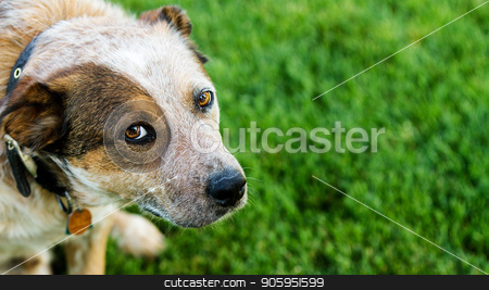 Dog looking up at you stock photo, Queensland heeler pet dog lookin at the camera against a grass background. Copyspace available on the right hand side. by txking