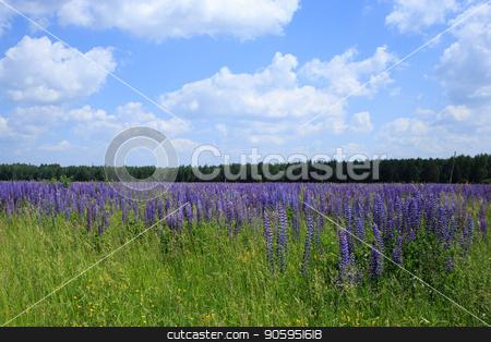 field of lupine flowers under blue sky stock photo, field of lupine flowers under blue sky. by Alfira Poyarkova