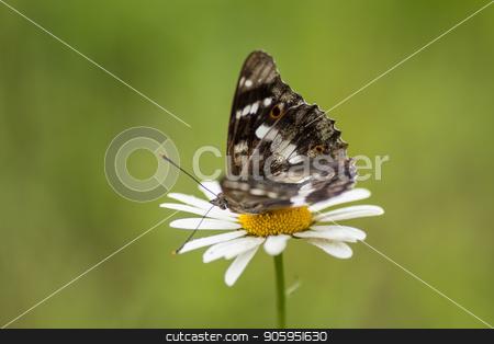 Beautiful butterfly on a flower chamomile. stock photo, Beautiful butterfly on a flower chamomile. Green background. by Alfira Poyarkova
