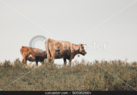 cattle grazing in the meadow. Pets: red cows stock photo, cattle grazing in the meadow. Pets: red cows by aaalll3110