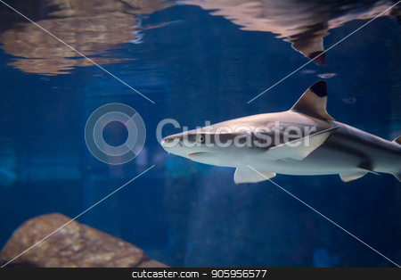 Shark looking for a meal stock photo, Low view of a shark under the water.  by txking